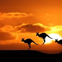 canguri-australia