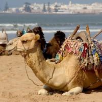 camel_on_the_beach-960x636